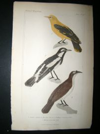 Cuvier C1835 Antique Hand Col Bird Print. Yellow Thrush etc, 21